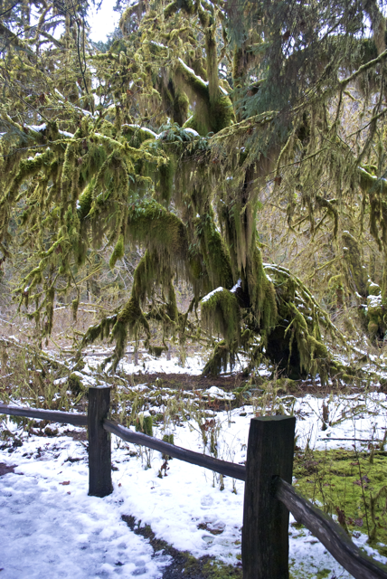 Hall of Mosses, Hoh Rainforest, Washington
